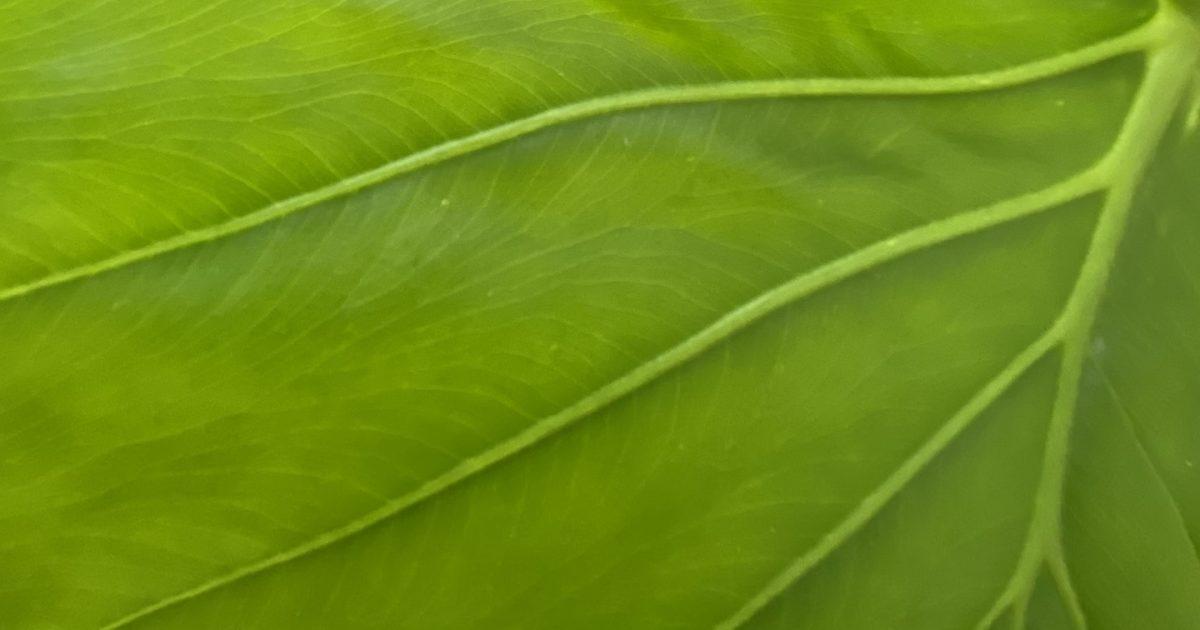Dwarf Elephant Ear plant leaf